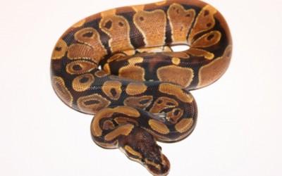 Reptilian Pets: The Snake Every Boys Dream Pet